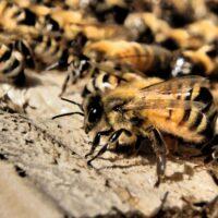 deca-deci abeilles