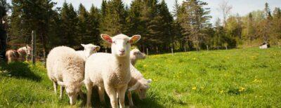 deca-deci agneaux