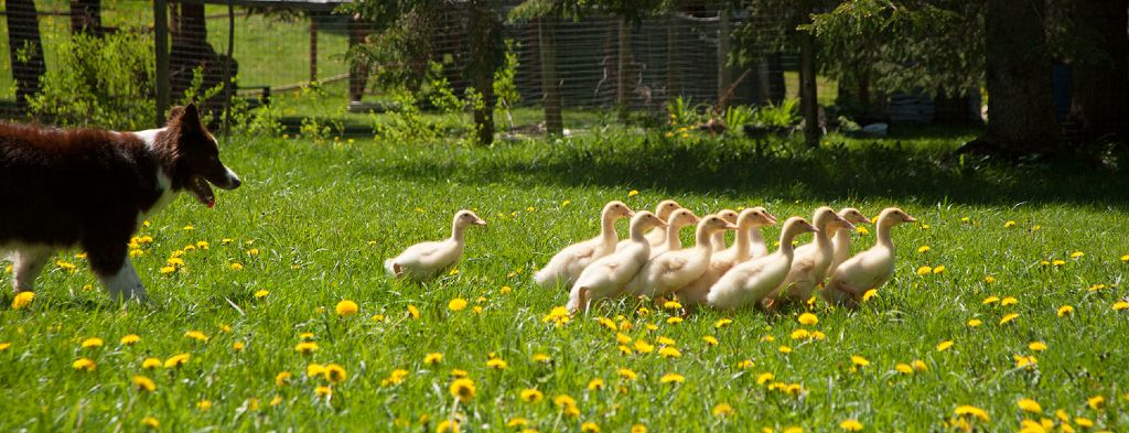 deca-deci mlla promene canards