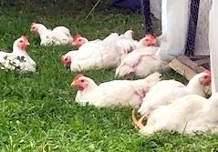 deca-deci poulets de grain